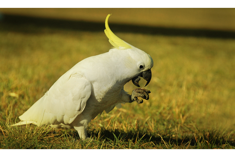 Cockatoo I